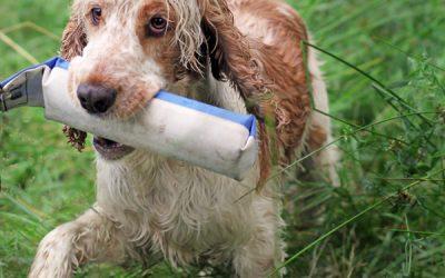 Paket: Onlinekurser grunder för den apporterande fågelhunden – utan återkoppling
