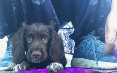 Onlinekurs: Valpkurs för fågelhundar – med återkoppling