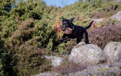Onlinekurs: Fortsättningskurs jaktapportering – träna på rätt saker – med återkoppling