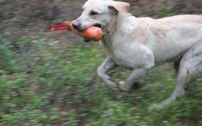 Paket: Avancerade onlinekurser för den apporterande fågelhunden – utan återkoppling